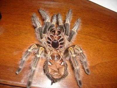 A tarantula molt